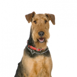 XO PUPS Airedale Terrier