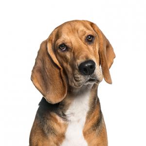 XO PUPS American Foxhound