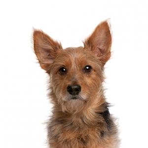 XO PUPS Australian Terrier