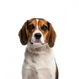 XO PUPS Beagle