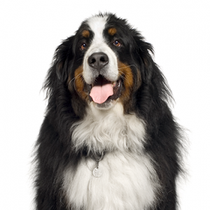 XO PUPS Bernese Mountain Dog