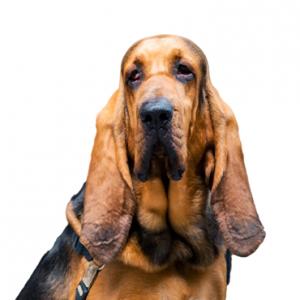 XO PUPS Bloodhound