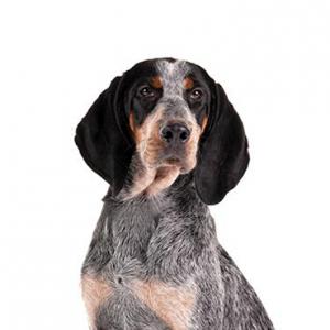 XO PUPS Bluetick Coonhound