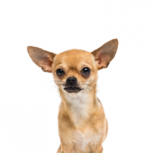 XO PUPS Chihuahua