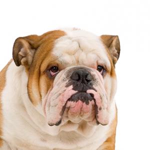 XO PUPS English Bulldog