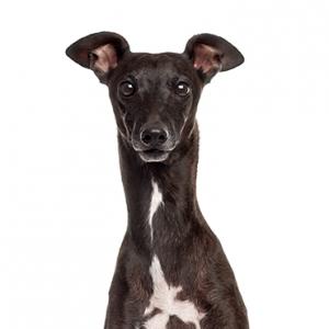 XO PUPS Italian Greyhound