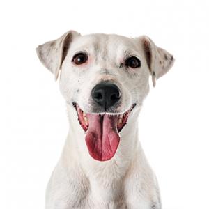 XO PUPS Jack Russel Terrier