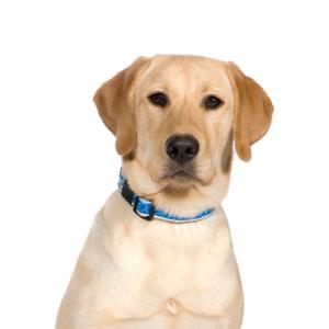 XO PUPS Labrador Retriever