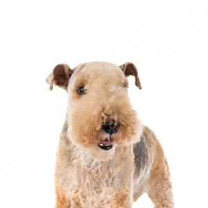XO PUPS Lakeland Terrier