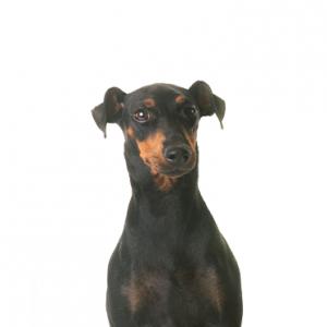 XO PUPS Manchester Terrier