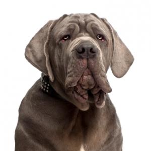 XO PUPS Neapolitan Mastiff