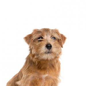 XO PUPS Norfolk Terrier