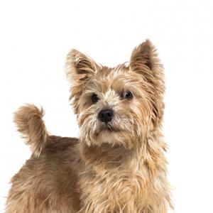 XO PUPS Norwich Terrier