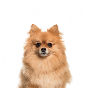 XO PUPS Pomeranian