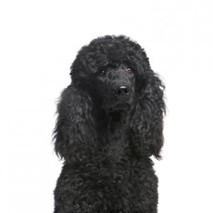 XO PUPS Poodle