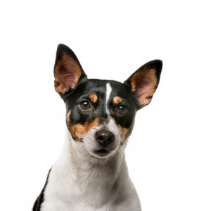 XO PUPS Rat Terrier