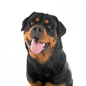 XO PUPS Rottweiler