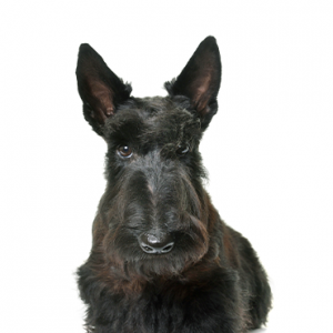 XO PUPS Scottish Terrier