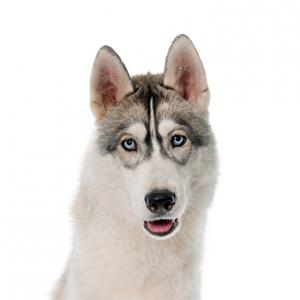 XO PUPS Siberian Husky