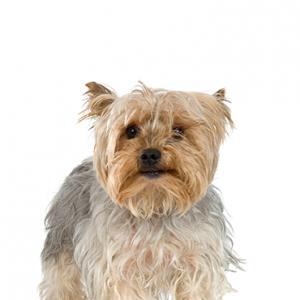 XO PUPS Silky Terrier