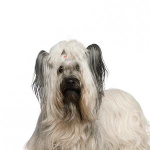 XO PUPS Skye Terrier