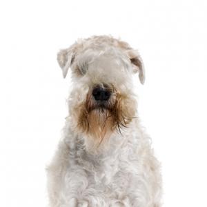 XO PUPS Soft Coated Wheaten Terrier
