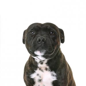 XO PUPS Staffordshire Bull Terrier
