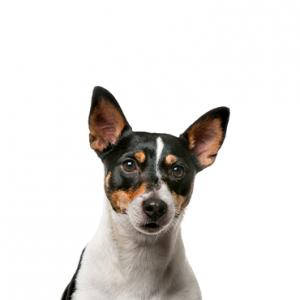 XO PUPS Toy Fox Terrier