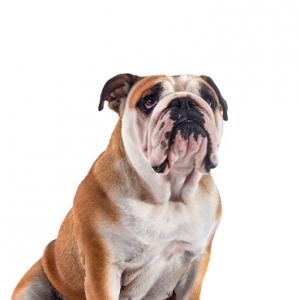 XO PUPS Victorian Bulldog