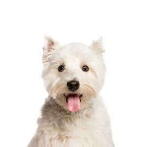 XO PUPS West Highland Terrier