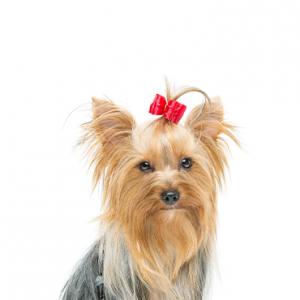 XO PUPS Yorkshire Terrier